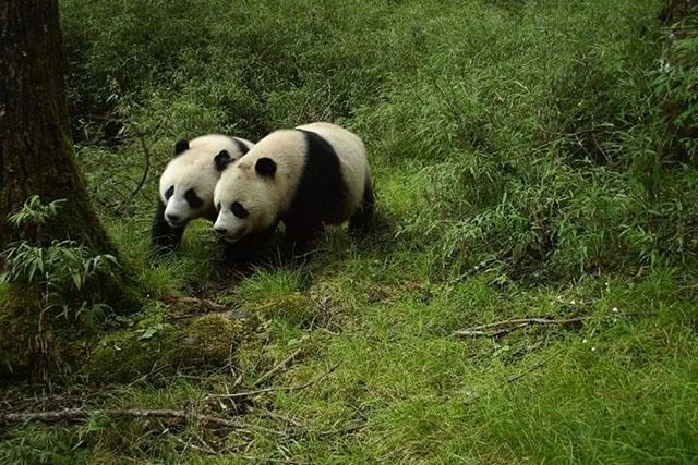 【摄影新鲜事】野生大熊猫亚成体双胞胎首次被拍到 | 徕卡推出白色限量版相机 | 年度气象摄影师大奖公布
